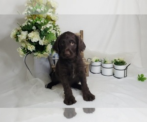 Miniature Labradoodle Puppy for Sale in COLLEGE STA, Texas USA
