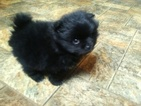 Pomeranian Puppy For Sale in CLYDE, NC, USA