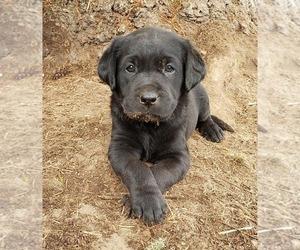 Labrador Retriever Puppy for Sale in OLYMPIA, Washington USA