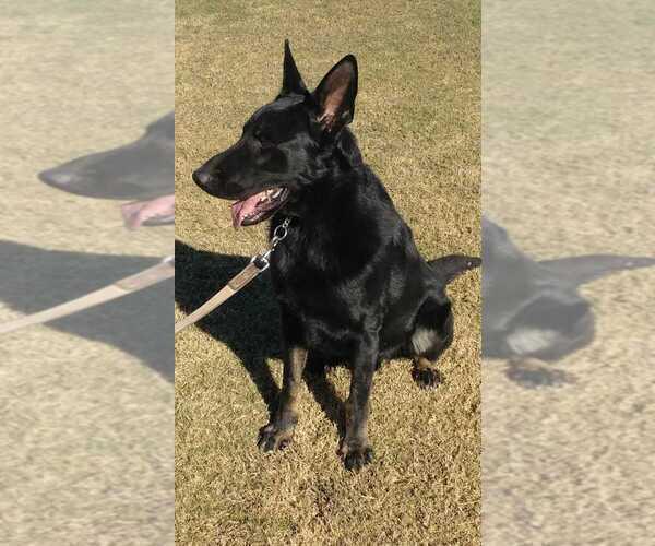 Medium Photo #1 German Shepherd Dog Puppy For Sale in EL CENTRO, CA, USA