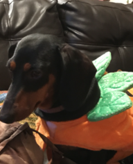 Father of the Dachshund puppies born on 02/12/2019