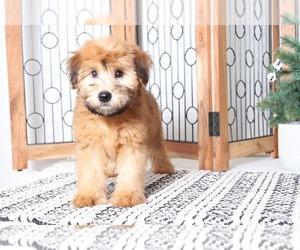 Medium Soft Coated Wheaten Terrier