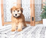 Small Soft Coated Wheaten Terrier