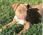 Puppy 5 American Pit Bull Terrier