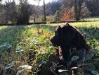 Boykin Spaniel Puppy For Sale in WHITES CREEK, TN, USA