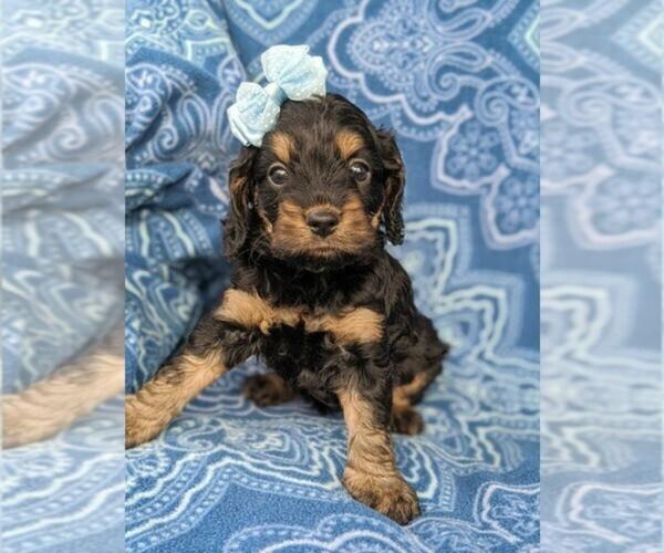 Medium Photo #1 Cock-A-Poo Puppy For Sale in TEMPE, AZ, USA