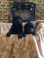 Labradoodle Puppy For Sale in OLYMPIA, WA