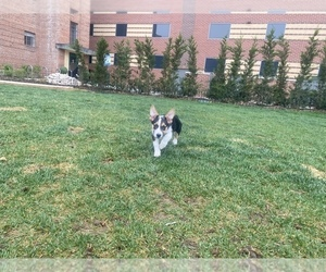 Pembroke Welsh Corgi Puppy for sale in DENVER, CO, USA