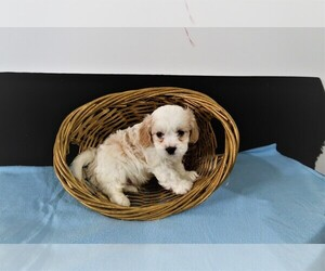 Cavachon Puppy for sale in FORT WAYNE, IN, USA