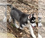 Small Photo #1 Siberian Husky Puppy For Sale in MORGANTOWN, IN, USA