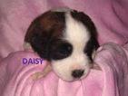 Saint Bernard Puppy For Sale in ESSEX, IA,