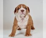 Puppy 4 Bulldog