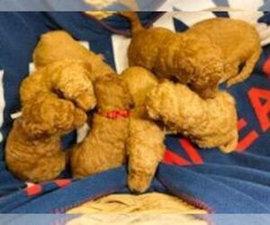 Goldendoodle Puppy for sale in CEREDO, WV, USA