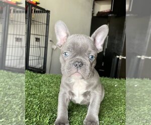 French Bulldog Dog for Adoption in LOS ANGELES, California USA
