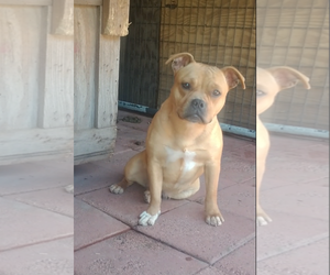 Mother of the American Bully puppies born on 03/09/2019