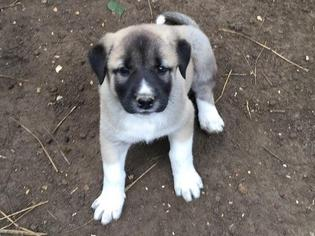 Anatolian Shepherd Puppy For Sale in SLAUGHTER, LA