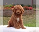 Puppy 4 Poodle (Standard)