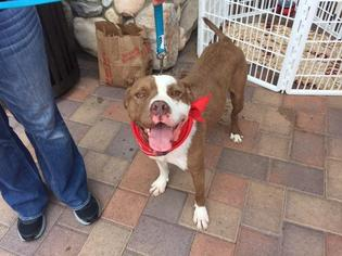 Mickey (NEEDS A FOSTER) - American Staffordshire Terrier / Saint Bernard / Mixed Dog For Adoption
