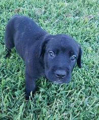 Cane Corso Puppy For Sale in JOELTON, TN