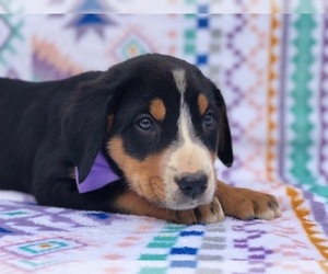 Greater Swiss Mountain Dog Puppy for sale in CLAY, PA, USA