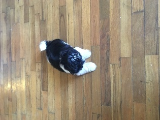 Shih Tzu Puppy for sale in CHAMPAIGN, IL, USA