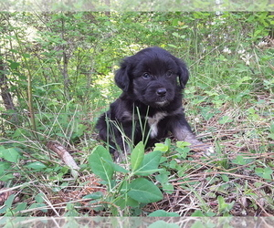 F2 Aussiedoodle Puppy for Sale in COEUR D ALENE, Idaho USA