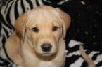 Labrador Retriever Puppy For Sale in LOVELADY, TX, USA