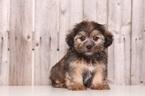 Shorkie Tzu Puppy For Sale in MOUNT VERNON, OH