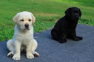 Labrador Retriever Puppy For Sale in BIRDSBORO, PA, USA