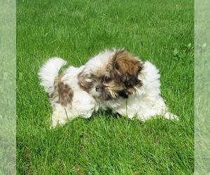 Shih Tzu Puppy for sale in LE MARS, IA, USA