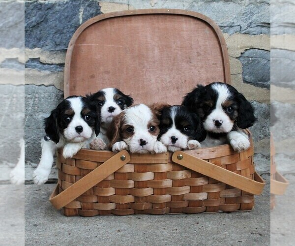 Medium Photo #2 Cavalier King Charles Spaniel Puppy For Sale in LANCASTER, PA, USA