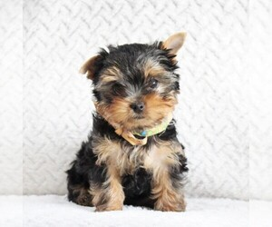 Yorkshire Terrier Puppy for sale in BIRD IN HAND, PA, USA