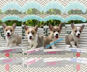 Pembroke Welsh Corgi Puppy for Sale in NARVON, Pennsylvania USA