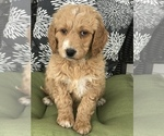 Puppy 2 Goldendoodle