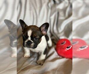 French Bulldog Puppy for sale in ECHO LAKE, IL, USA
