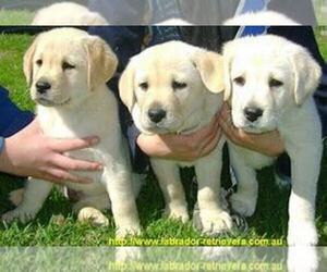 Labrador Retriever Dog for Adoption in SOUTH BEND, Indiana USA
