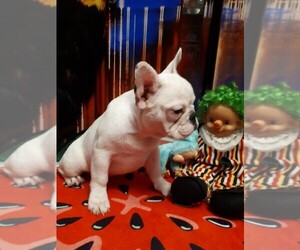 French Bulldog Puppy for sale in KATY, TX, USA