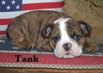 Bulldog Puppy For Sale in NORCO, CA