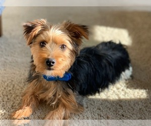 Yorkshire Terrier Puppy for Sale in MC KINNEY, Texas USA