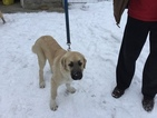 Anatolian Shepherd Puppy For Sale in COEUR D ALENE, ID