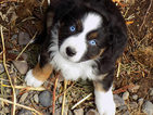 Aussie one fourth Mini Aussie with tails no dock