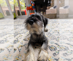Schnauzer (Standard) Puppy for Sale in ROSWELL, Georgia USA