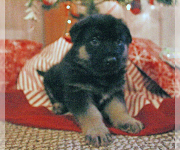 Medium Photo #1 German Shepherd Dog Puppy For Sale in LAKEVILLE, OH, USA