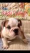 English Bulldogge Puppy For Sale in ALBRIGHT, WV, USA