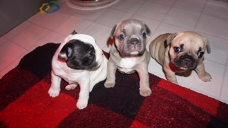French Bulldog Puppy For Sale in FAIRFIELD, CA