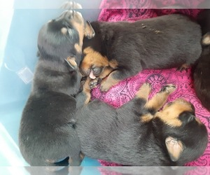 Rottweiler Puppy for sale in VANCOUVER, WA, USA