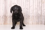Labradoodle Puppy For Sale in MOUNT VERNON, Ohio,