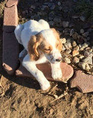 English Setter Puppy For Sale in BYERS, CO, USA
