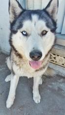 Siberian Husky Dogs for adoption in BUENA PARK, CA, USA