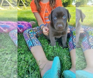 Labrador Retriever Puppy for sale in CANBY, MN, USA